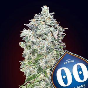 Auto 00 Kush 5 u. fem. 00 Seeds