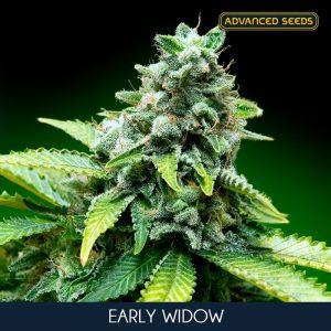 Early Widow 10 u. fem. Advanced Seeds