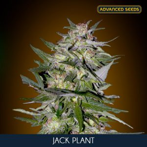 Jack Plant 100 u. fem. Advanced Seeds