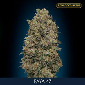 Kaya 47 – 1 u. fem. Advanced Seeds