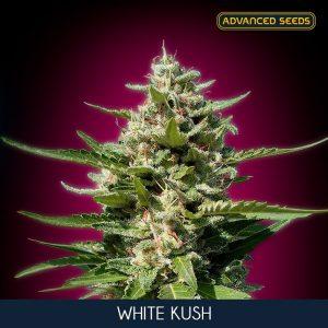 White Kush 1 u. fem. Advanced Seeds
