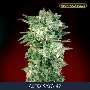 Auto Kaya 47 – 1 u. Blister x 10 fem. Advanced Seeds