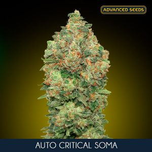 Auto Critical Soma 1 u. Blister x 10 fem. Advanced Seeds