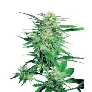Big Bud 10 u. fem. Sensi Seeds