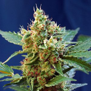 Auto Cream Mandarine XL 3+1 u. fem. Sweet Seeds