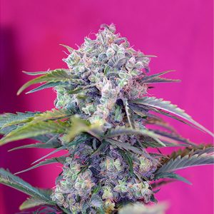 Auto Cream Mandarine 5+2 u. fem. Sweet Seeds