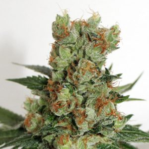 Fuel OG 1 u. fem. Ripper Seeds
