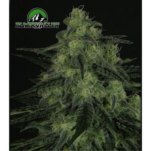 Black Valley 1 u. fem. Ripper Seeds