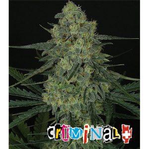 Criminal+ 1 u. fem. Ripper Seeds